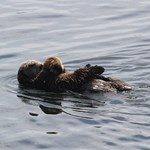 Baby Sea Otter with Mother