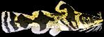 Piebald Madtom catfish