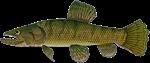 Amazon Wolf fish Trahira