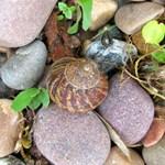 Utah Creek Snail and Rocks