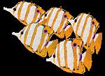 School of Yellow & White Tropical Fish