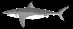 Great White Shark 2020