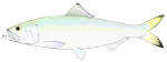 Skipjack Shad Herring