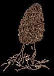Morel Mushroom Drawing