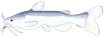 White Bullhead Catfish