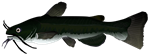 Black Bullhead Catfish