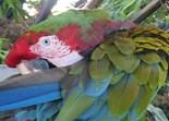 Hybrid Macaw