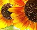 Maine Sunflower