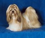 Guard Dog Shih Tzu