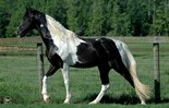 Spotted Walking Horse