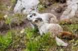Marmota Caligata
