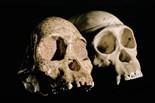 Australopithecus Arficanus