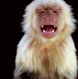 White Throated Capuchin Monkey