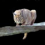 Wild Cat Photo