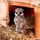 Zaphod Meerkat Meerkats Kalahari Flower