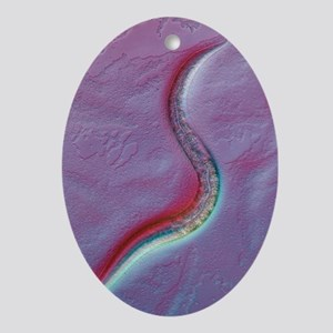 C. elegans worm, light micrograph Oval Ornament