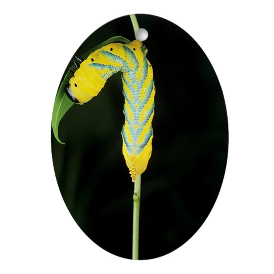 Jew Detector: Death's Head Hawkmoth Caterpillar