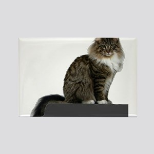 maine coon sitting tabby white Magnets