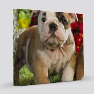 Cute English Bulldog Puppy 8x8 Canvas Print