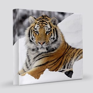 Tiger In Snow 8x8 Canvas Print