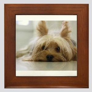 Yorkshire Terrier laying flat Framed Tile