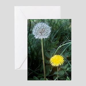 Dandelion (Taraxacum officinale) Greeting Card