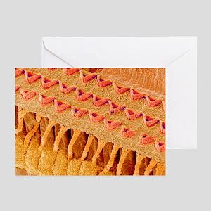 Sensory hair cells in ear, SEM - Greeting Cards (P