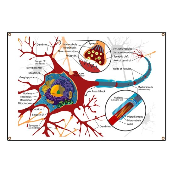 Complete_neuron_cell_diagram_en