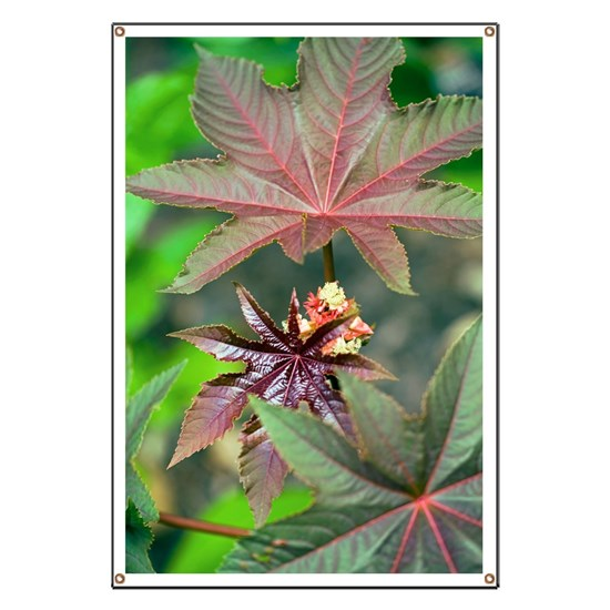 Castor Oil Plant Ricinus Sp Banner By Science Photo Library Cafepress