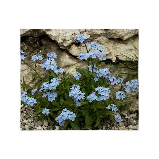 Alpine Forget-me-not (Myosotis alpestris)