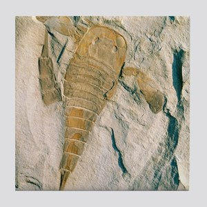 Fossil of a sea scorpion, Eurypterus  Tile Coaster