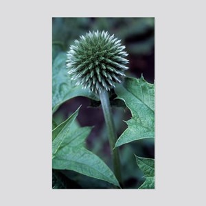 Globe thistle 'Veitch's Blue' Sticker (Rectangle)