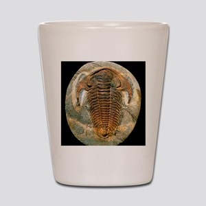Fossil trilobite from the Cambrian peri Shot Glass