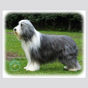 Bearded Collie 8R002D-16