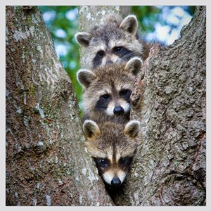 Baby Raccoon Trio