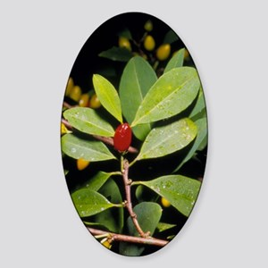 Fruit and leaves of cocaine plant Sticker (Oval)