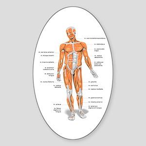 Muscles anatomy body Sticker