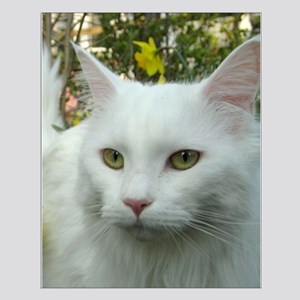 maine coon fourth white Posters