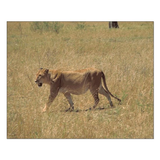 Poster-Small-16x20_print-Lioness-Walking