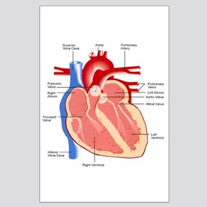 Human Heart Anatomy Large Poster