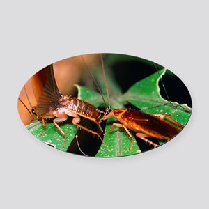 Blattellid cockroach courtship Oval Car Magnet