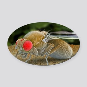 Fruit fly, SEM Oval Car Magnet