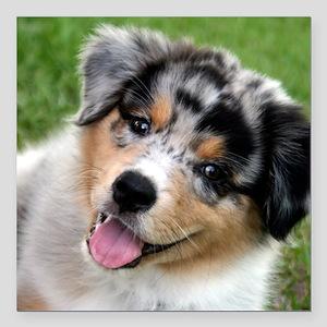 Australian Shepherd Puppy Car Magnets - CafePress