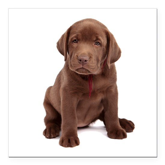 chocolatelab