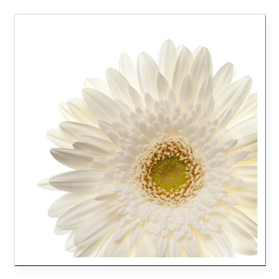 White gerbera daisy isolated on white.