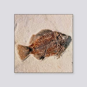 Fossilised fish, Priscacara serata - Square Sticke
