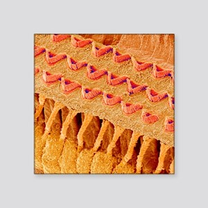 "Sensory hair cells in ear,  Square Sticker 3"" x 3"""