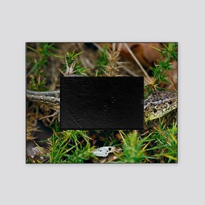 Male sand lizard Picture Frame