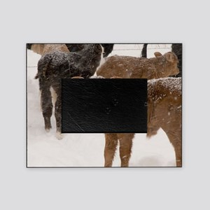 Calves in The Snow Picture Frame