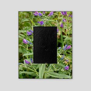 Echium plantagineum Picture Frame